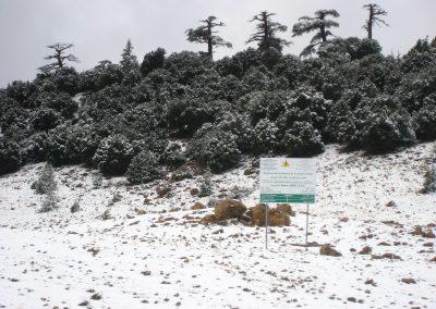 Snow on Atlas cedar trees in Morocco