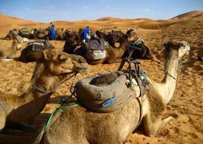 Camels in the Erg Chebbi dunes of the Sahara Desert near Merzouga in Morocco