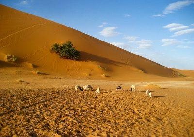 Grazing sheep in the Sahara Desert in Morocco