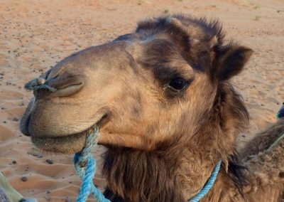 Camel in the Erg Chebbi dunes of the Sahara Desert near Merzouga in Morocco