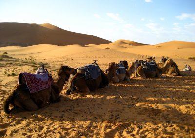 Resting camels in the Sahara Desert near Merzouga in Morocco