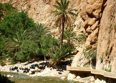 Goats Grazing in Todra Gorge in Morocco