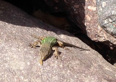 Lizard eating on a rock in Imlil Valley in the High Atlas Mountains of Morocco