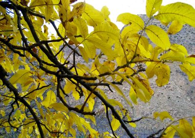 Walnut tree in autumn in Imlil Valley in the High Atlas Mountains of Morocco