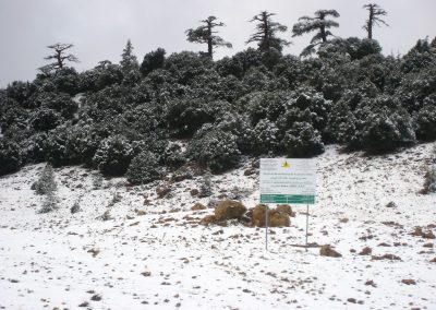 Snow on Atlas cedar trees in Morocco