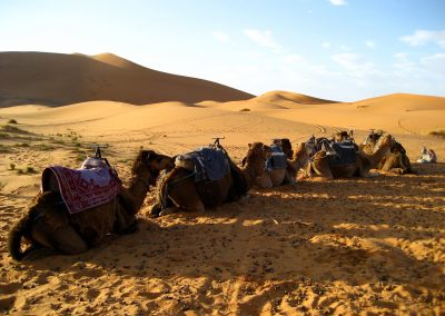Resting camels in the Sahara Desert near Merzouga in Morocco